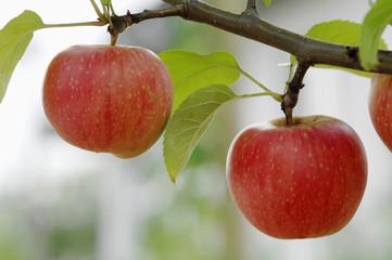 Deutschland, Bayern, Baum mit Äpfeln