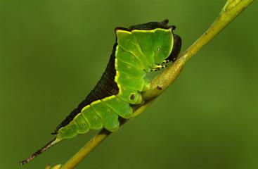 Puss Moth, weißer Gabelschwanz