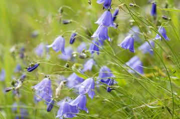 Glockenblume, Campanula rotundifolia