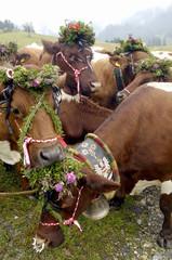 Österreich, dekorierte Rinder grasen auf der Weide