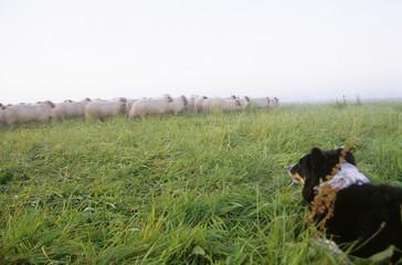 Deutschland, Niedersachsen, Border Collie, Herde von Schafen