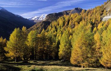 Lärchen im Nationalpark Hohe Tauern, Österreich