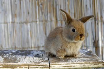 Kaninchen auf dem Tisch