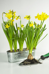 Gelbe Narzissen in metallischen Behältern