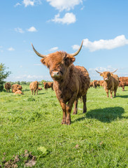 Highland cattle in a sunny landscape