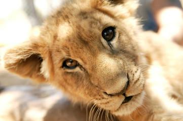 Südafrika, Junger Löwe im Aquila Private Game Reserve