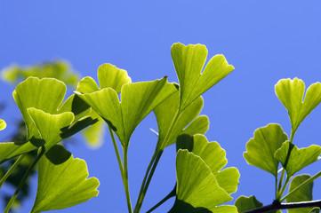 Ginko Zweige und Blätter