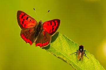 Schmetterling, lycaena phlaeas, und eine Fliege sitzen auf einem Blatt