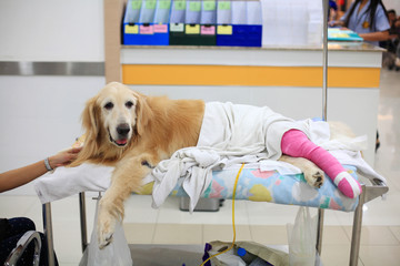 Injured Golden retriever with pink bandage on wheelchair