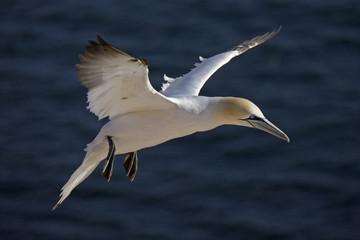 Deutschland, Helgoland, Basstölpel fliegt über Meer