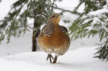 Auerhahn im Schnee