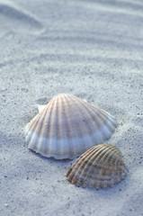 Zwei Muscheln auf Sand