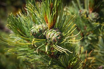 Pine cones, Baikal, Russia
