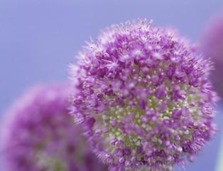 Zwiebel Blume (Allium giganteum)