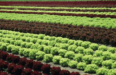 Salatbeet