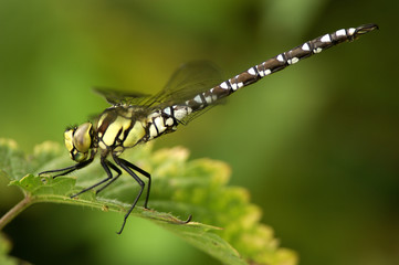 Dragonfly, Aeshna cyanae, auf Blatt