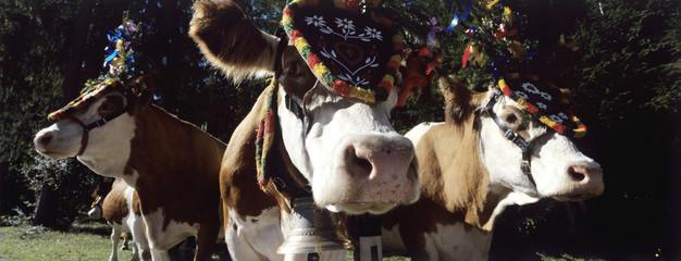 Österreich, Salzburger Land, Vieh mit Kopfschmuck