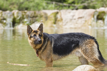 German Shepherd dog playing in the water