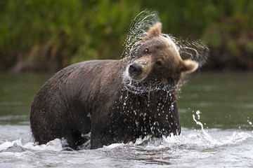 Brown bear shakes his head from time salmon fishing