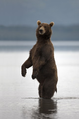 Brown bear rose on his hind legs