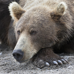 Portrait of a brown bear lying on the shore of lake