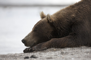 Portrait of a brown bear sleeping on the shore of lake