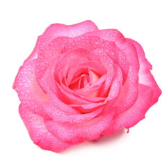 Pink Rose Flower with Water Drops Isolated on White Background