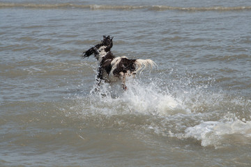 Spaniel racing into the sea