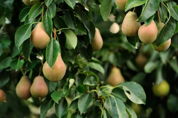 Pears Growing on Pear Tree