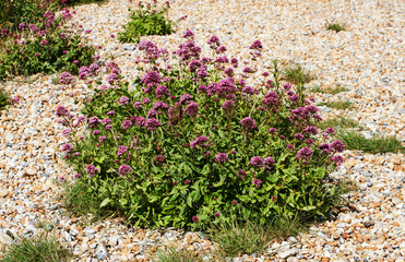 wild valerian on pebble beach
