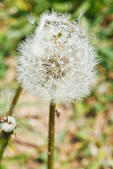 seed head of dandelion blowball