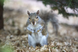 Grey tree squirrel feeding on the ground