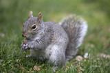 Grey tree squirrel feeding on the ground