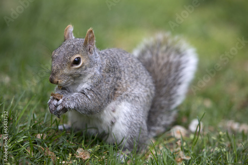 Aluminium Eekhoorn Grey tree squirrel feeding on the ground