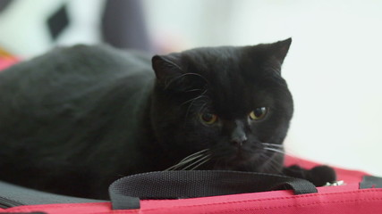 Big black lazy cat lies