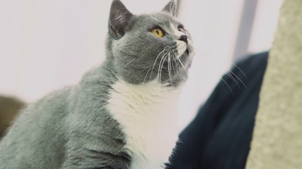 Curious grey cat playing with toy