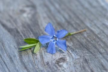 Blüte des Kleinen Immergrüns auf altem Holz