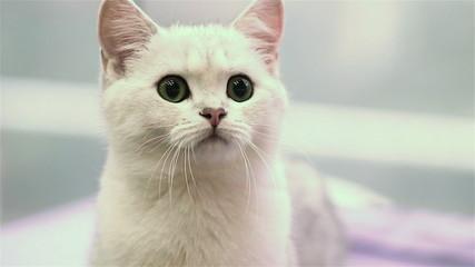 White kitten hunts for toy