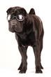 canvas print picture - Sharpei schwarz mit Sonnenbrille stehend
