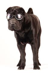 Sharpei schwarz mit Sonnenbrille stehend