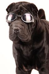 Sharpei schwarz mit Sonnenbrille Portrait