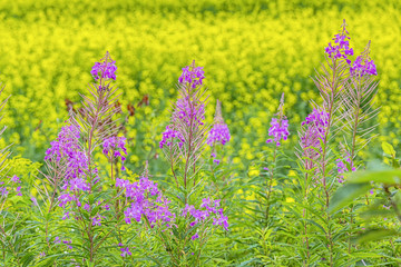 Fireweed and Canola