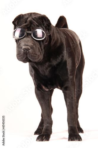 canvas print picture Sharpei schwarz mit Sonnenbrille stehend