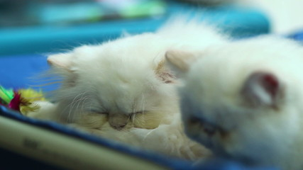 Two cute white cats sleeping