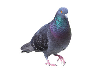 isolated male feral pigeon