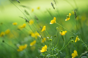 Close up image of vibrant buttercups in wildflower meadow landsc