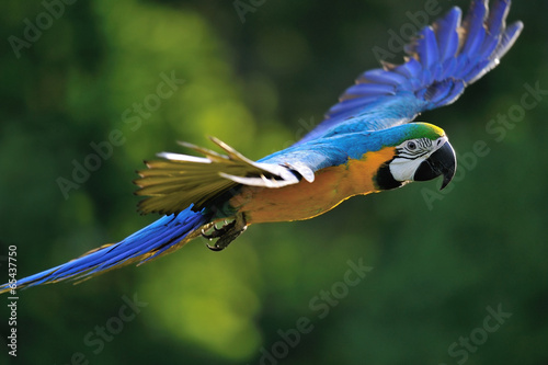 Foto op Canvas Papegaai Flying blue-and-yellow Macaw - Ara ararauna
