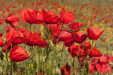 Blüten des Klatschmohns (Papaver rhoeas, Red poppies)