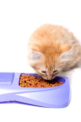 Orange kitten eating
