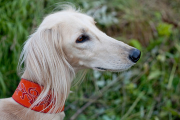 White saluki portrait